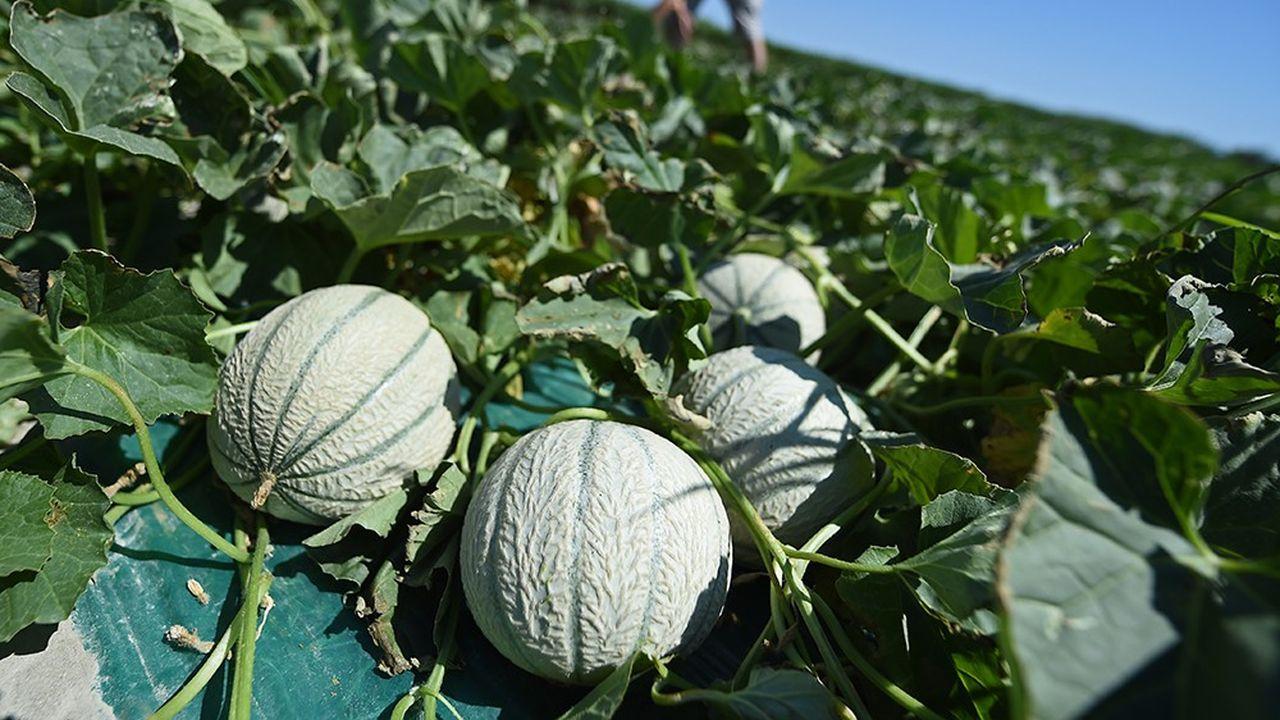 Une récolte de melons de 260.000 à 280.000 tonnes est annoncée en 2018.