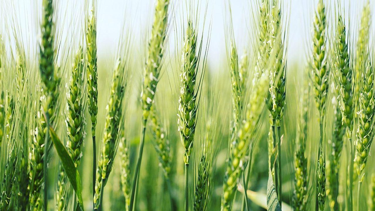Avec 220 millions d'hectares, le blé tendre est la céréale la plus cultivée dans le monde.