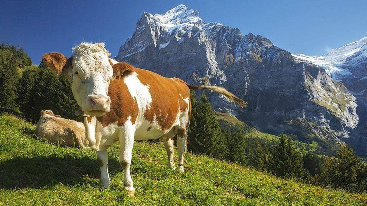 Les petites vaches pourraient plus facilement accéder aux pâturages alpins