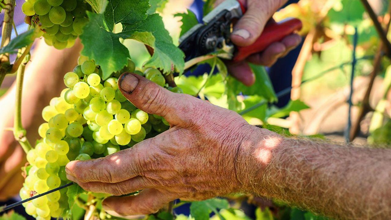 Les départements d'Alsace veulentmettre en relation chômeurs longue durée et viticulteurs aux prises avec une pénurie de main d'oeuvre.