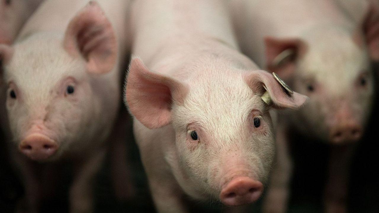 En Allemagne, un porc coûte 10 à 15euros de plus par tête aux éleveurs, en raison des achats nécessaires de fourrage.