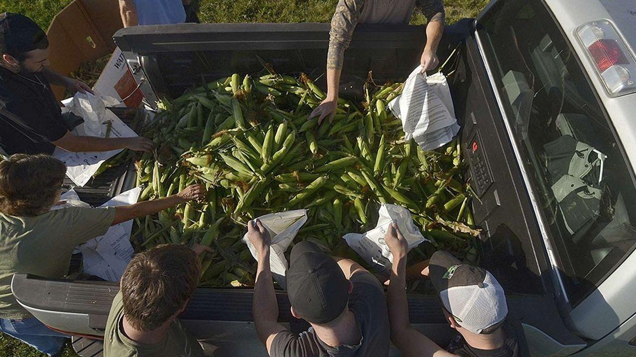 Des volontaires et des étudiants ramassent, ce 5septembre 2018, du maïs à Terre Haute, dans l'Indiana, pour l'apporter à des banques alimentaires gérées par des institutions religieuses.