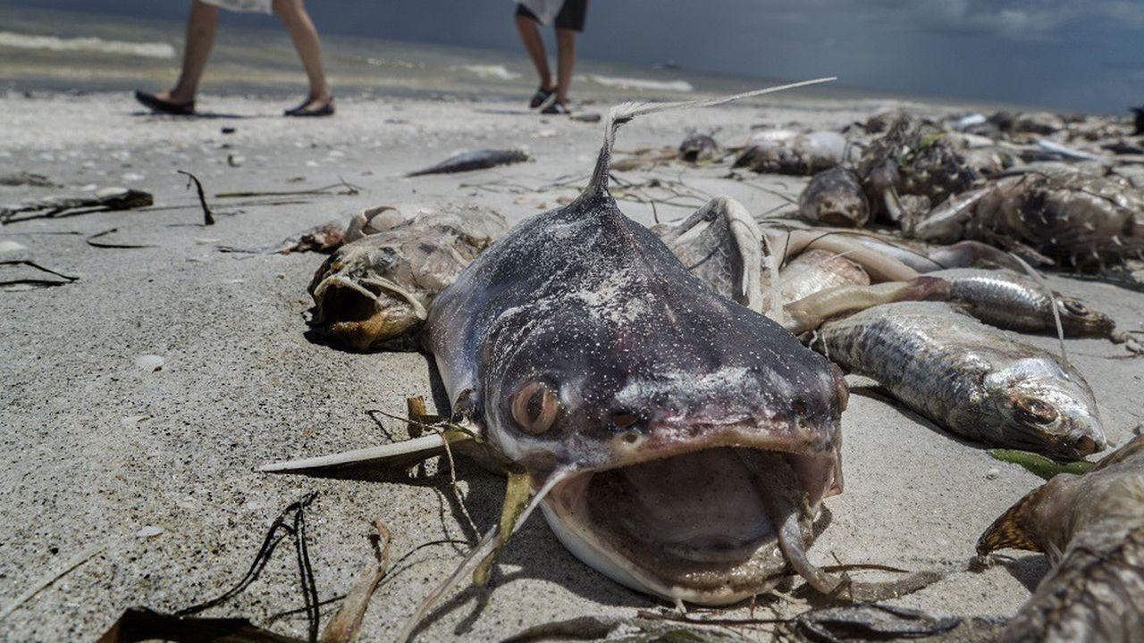 Des centaines de poissons morts se sont échoués sur la plage de Gulfside City Park à Sanibel, en Floride.