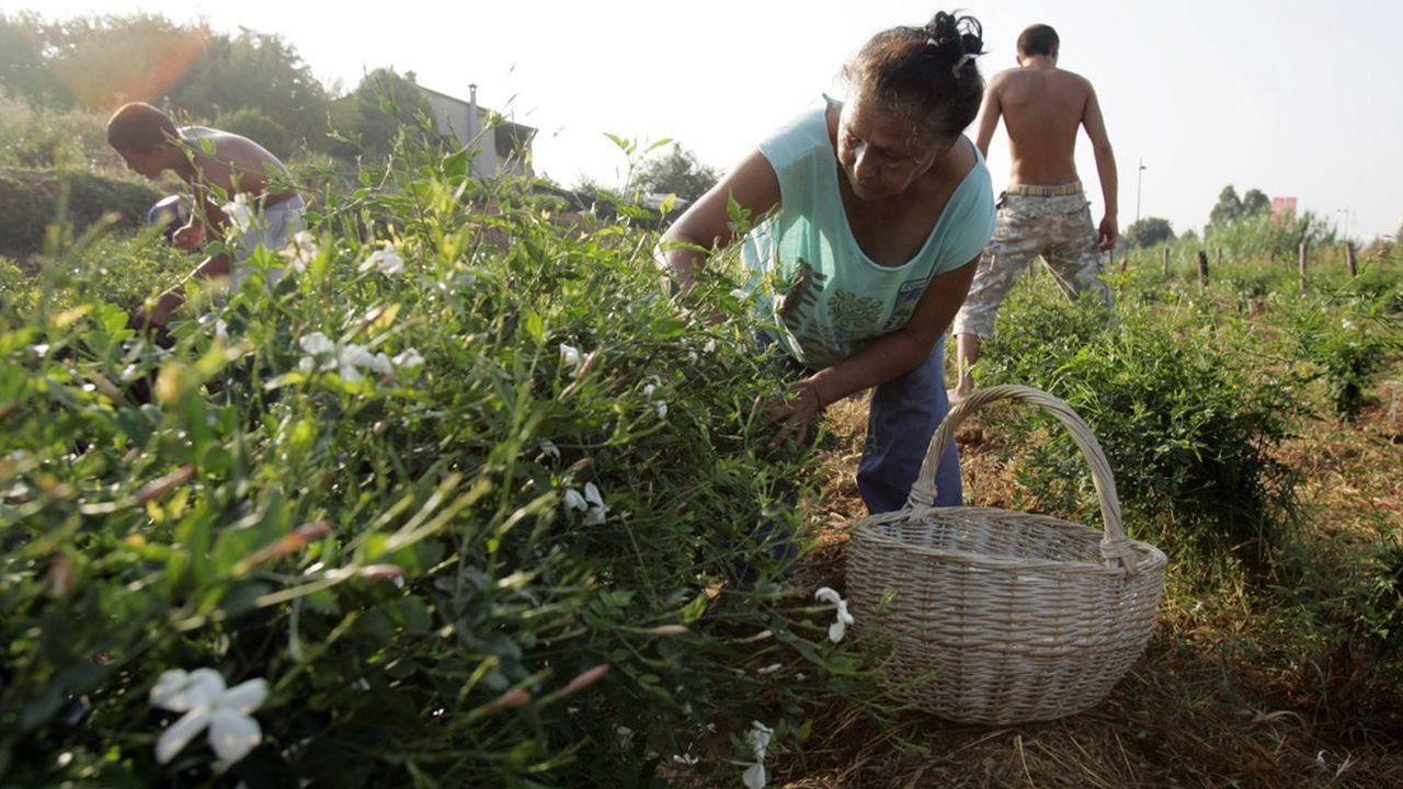 Mondialement réputée, la production locale de plantes à parfum à Grasse a été menacée de disparition au milieu des années 2000 .
