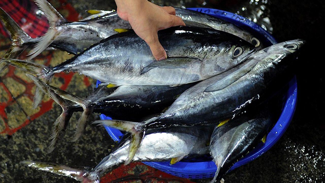 Si les niveaux actuels de pêche se maintiennent, la probabilité que le stock de thon obèse se reconstitue d'ici 2033 est évaluée à 1%, selon les scientifiques