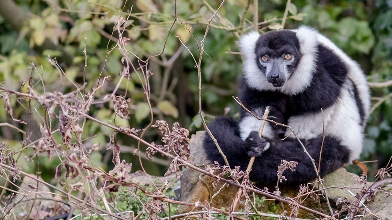 L'espèce des lémuriens vit exclusivement sur l'île de Madagascar