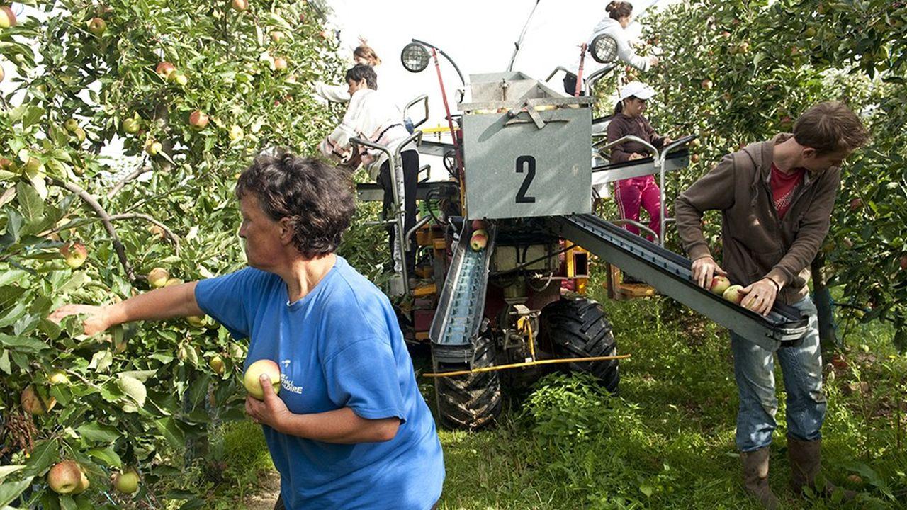 Une récolte manuelle de pommes au Verger de la Blottière (Maine-et-Loire).