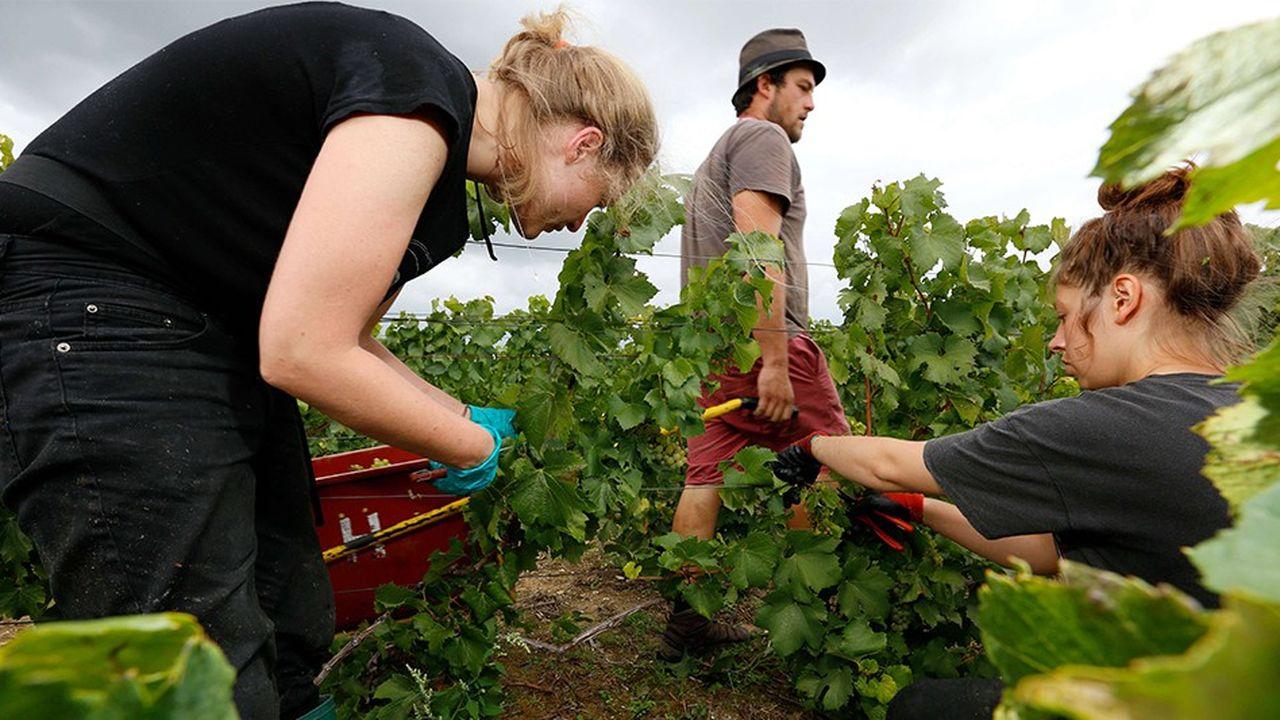 Dans plusieurs régions viticoles, les exploitants peinent à boucler leur recrutement de saisonniers. Plusieurs secteurs d'activité sont confrontés à ce manque de main-d'oeuvre.