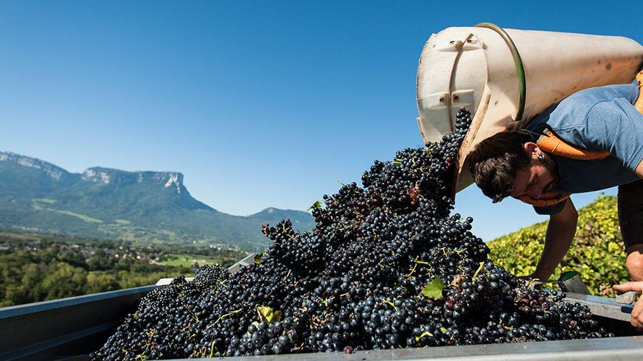 Si le mildiou a occasionné des pertes dans les vignes, la canicule de cet été ne semble avoir eu une incidence majeure.