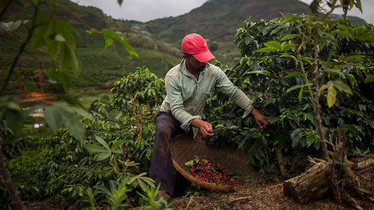 Le Brésil, premier producteur mondial de café, achève actuellement une récolte record.