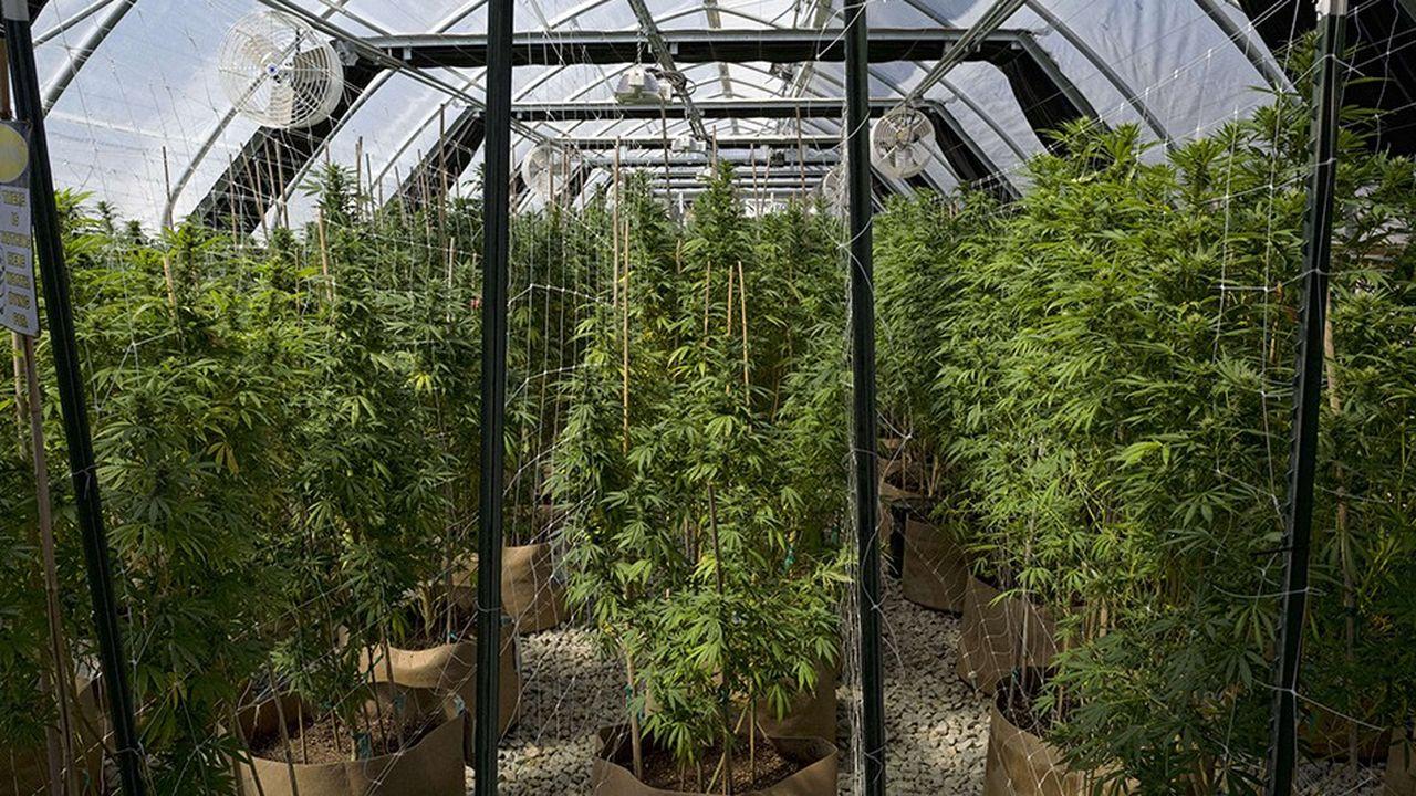Les valeurs qui misent sur le développement du cannabis à usage thérapeutique font l'objet d'une intense spéculation en Bourse.