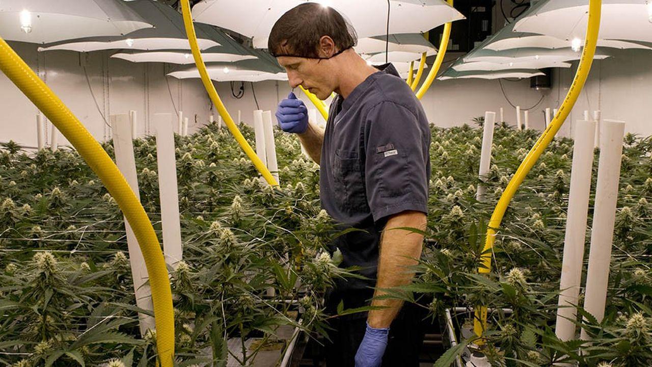 Les valeurs «cannabis», et plus particulièrement Tilray, ont flambé cet été