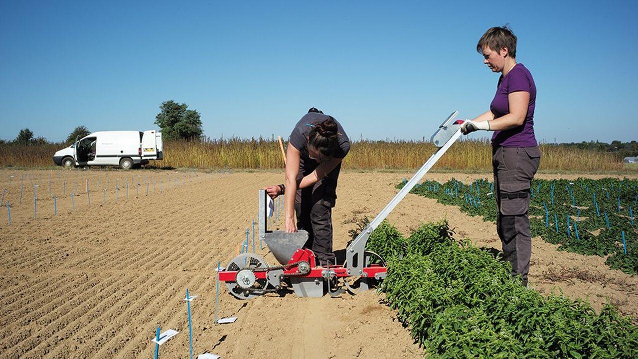 Travailleurs dans les champsde Promoplantes, près de Chemillé, l'un des principaux bassins français de production de plantes médicinales.