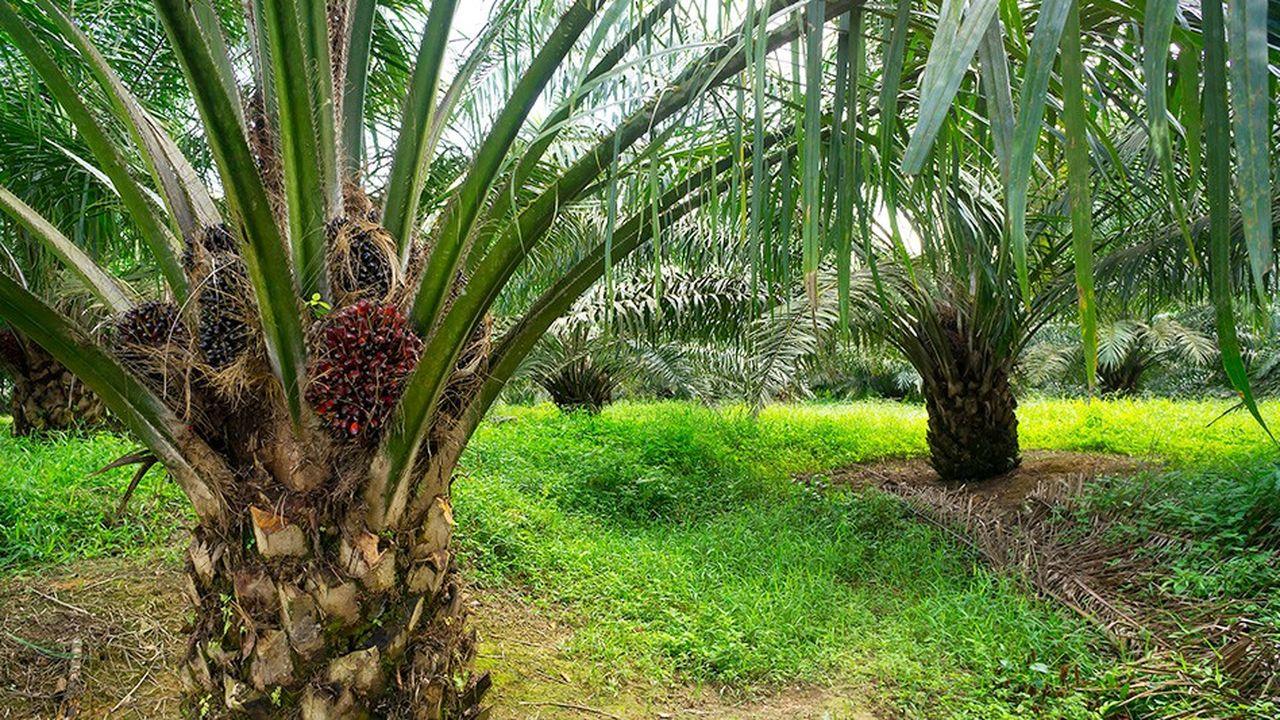 Pour l'auteure de cet amendement, «l'extension des plantations de palmier à huile constitue une cause majeure de déforestation».