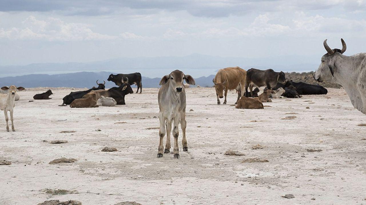 Au Costa Rica, le recours à la déforestation pour permettre au bétail de brouter a réduit presque de moitié la surface couverte par les forêts entre 1946 et 1986. Depuis, l'arrêt des subventions aux cheptels et des incitations inappropriées a permis d'inverser cette tendance.