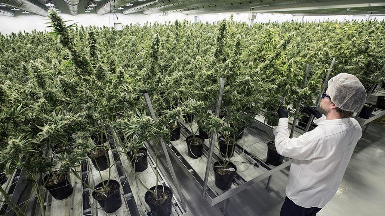 2213391_la-legalisation-progressive-du-cannabis-interpelle-les-grands-groupes-web-tete-0302402014779.jpg