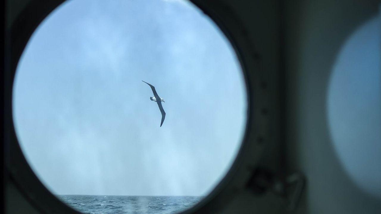 Originaires des îles Crozet, Kerguelen et Amsterdam, les albatros seront équipés d'une petite balise de 70 grammes chacun.