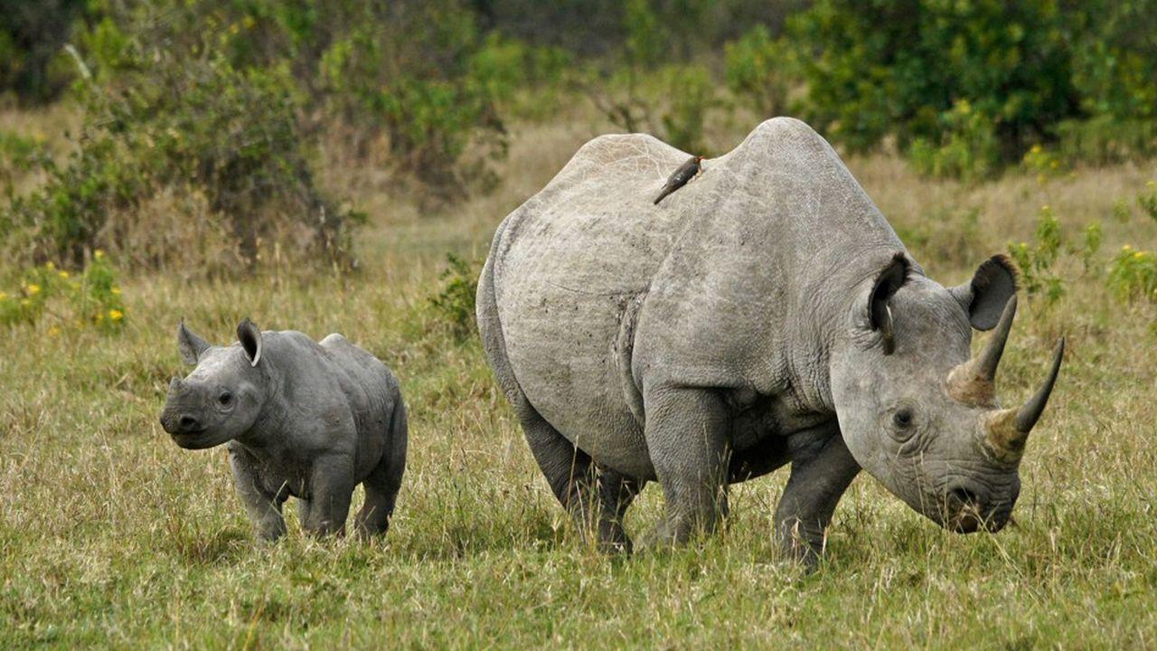 Les tigres et les rhinocéros sont des espèces menacées.