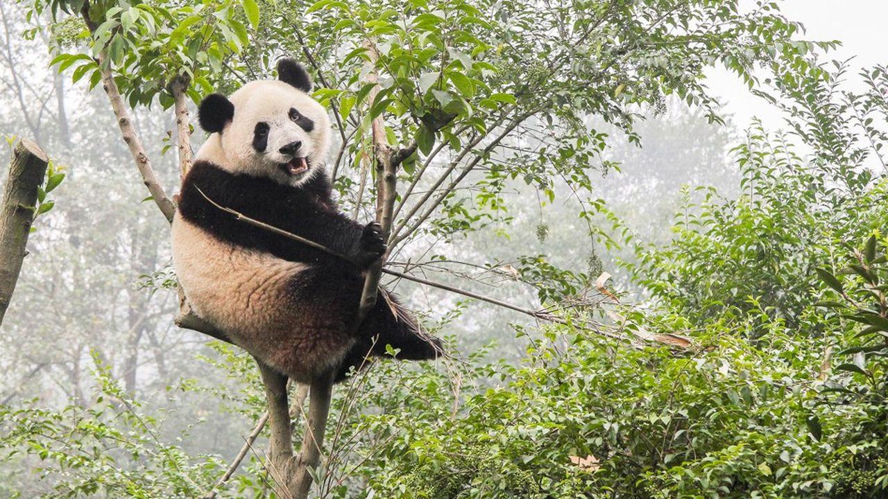 Le panda, emblème du WWF, incarne les menaces de plus en plus lourdesqui pèsent sur la biodiversité et la survie de plusieurs milliers de vertébrés dans les écosystèmes du monde entier.