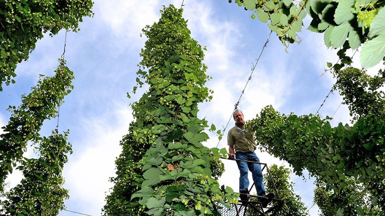 Le houblon pousse de 30 centimètres par nuit et peut atteindre de 8 à 9 mètres. Seuls les cônes en bout de tige sont utilisés pour la bière. (Photo by PHILIPPE HUGUEN/AFP)