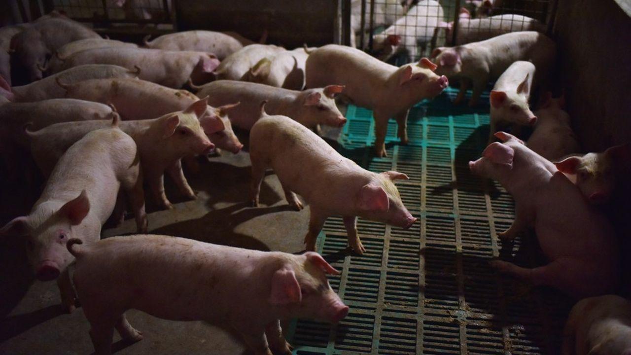 Depuis début août, les autorités chinoises ont signalé 73 cas de peste porcine africaine hautement contagieuse, dans vingt provinces chinoises