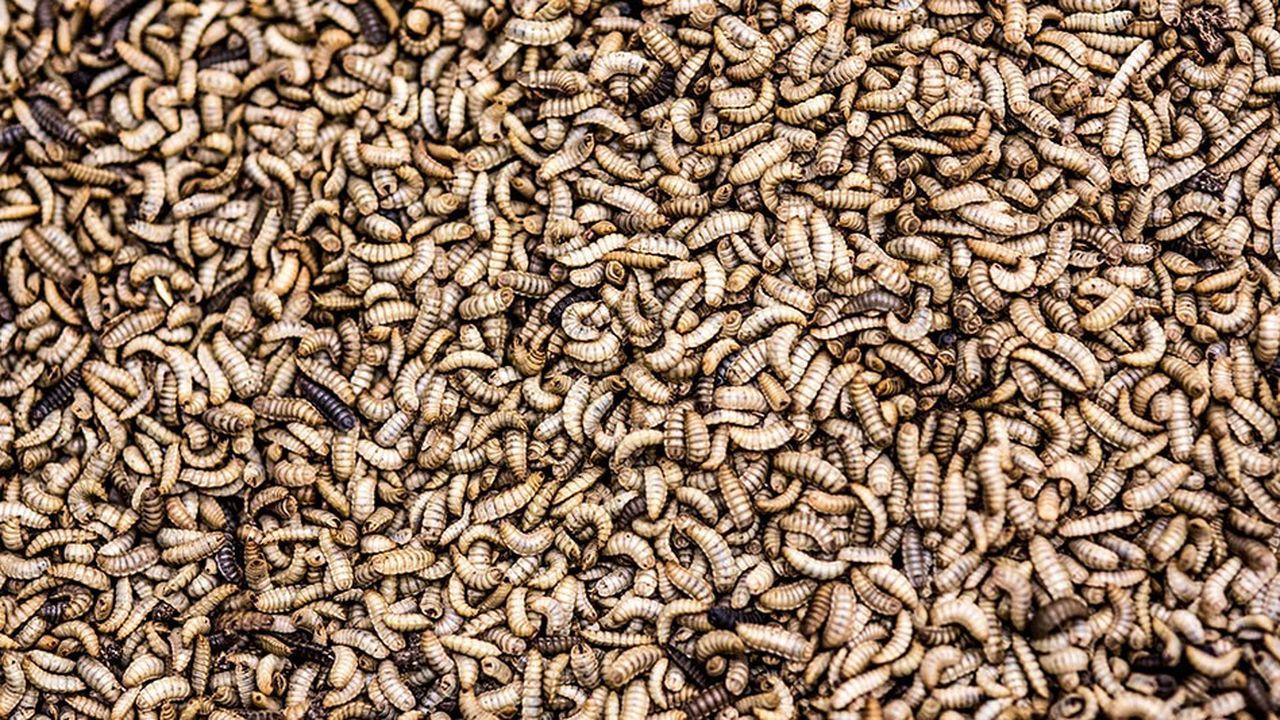 La technologie d'InnovaFeed est basée sur l'exploitation des larves d'Hermetia illucens, mouche endémique d'Europe.