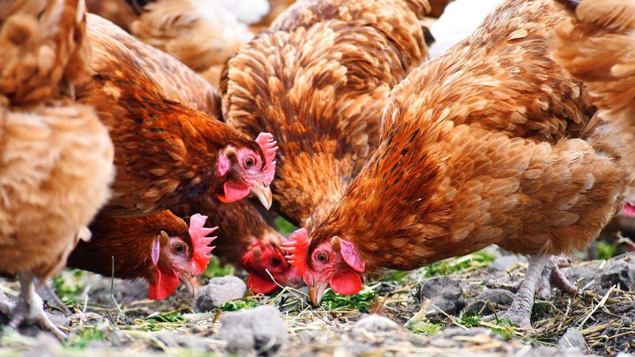 Les premiers étiquetages sont annoncés pour le 10décembre dans les magasins Géant et supermarchés Casino et concerneront dans un premier temps les poulets de la gamme «Terre et saveurs» du distributeur.