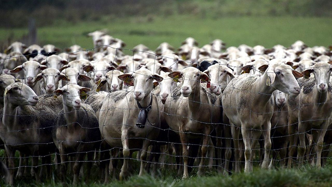 Moutons aux Eygalières dans le Larzac.
