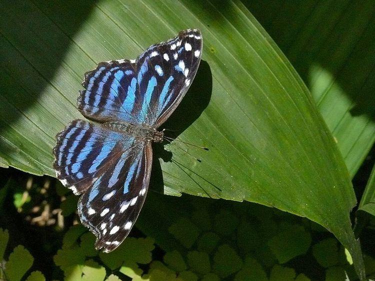 Le Mexican Bluewing fait partie des espèces visibles dans la réserve.