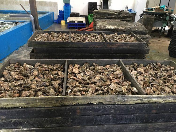 Les huitres sont prêtes à être plongées dans de vastes bassins avant leur envoi auprès des commerçants pour la consommation.