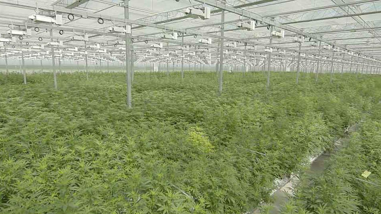 Tilray possède des exploitations de cannabis au Canada (photo), en Australie, en Nouvelle-Zélande, en Allemagne, au Chili et au Portugal
