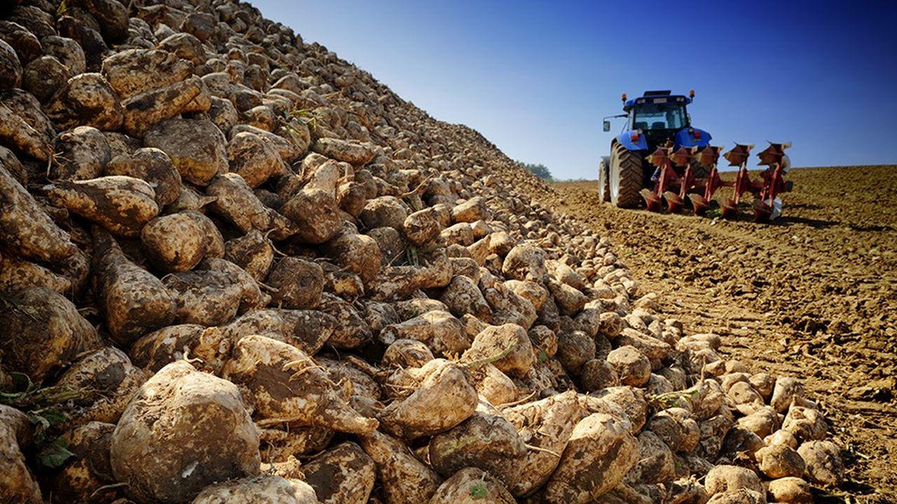 Cette année, les rendements ont été assez médiocres dans l'Hexagone : 83 tonnes de betteraves à l'hectare, contre une moyenne de 89 tonnes au cours de ces cinq dernières années.