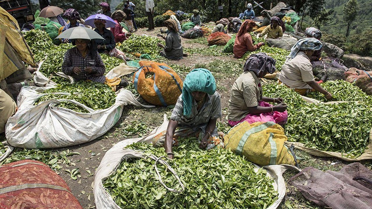 La récolte du thé fait partie des tâches qui ne sont pas mécanisées et nécessitent beaucoup de main-d'oeuvre.