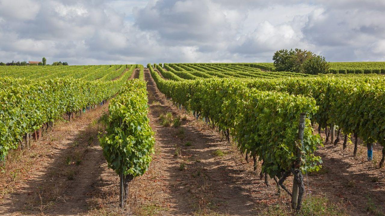 Les maisons de cognac souhaitent accroître les plantations de vignes de 5%.