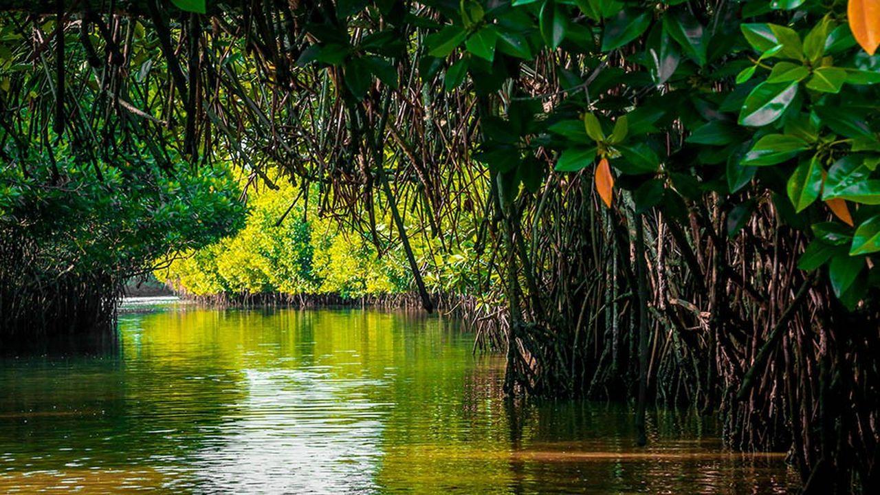 La surface occupée par les mangroves dans le monde est passée de 188.000 km2, dans les années 1980, à un peu plus de 152.000km2.