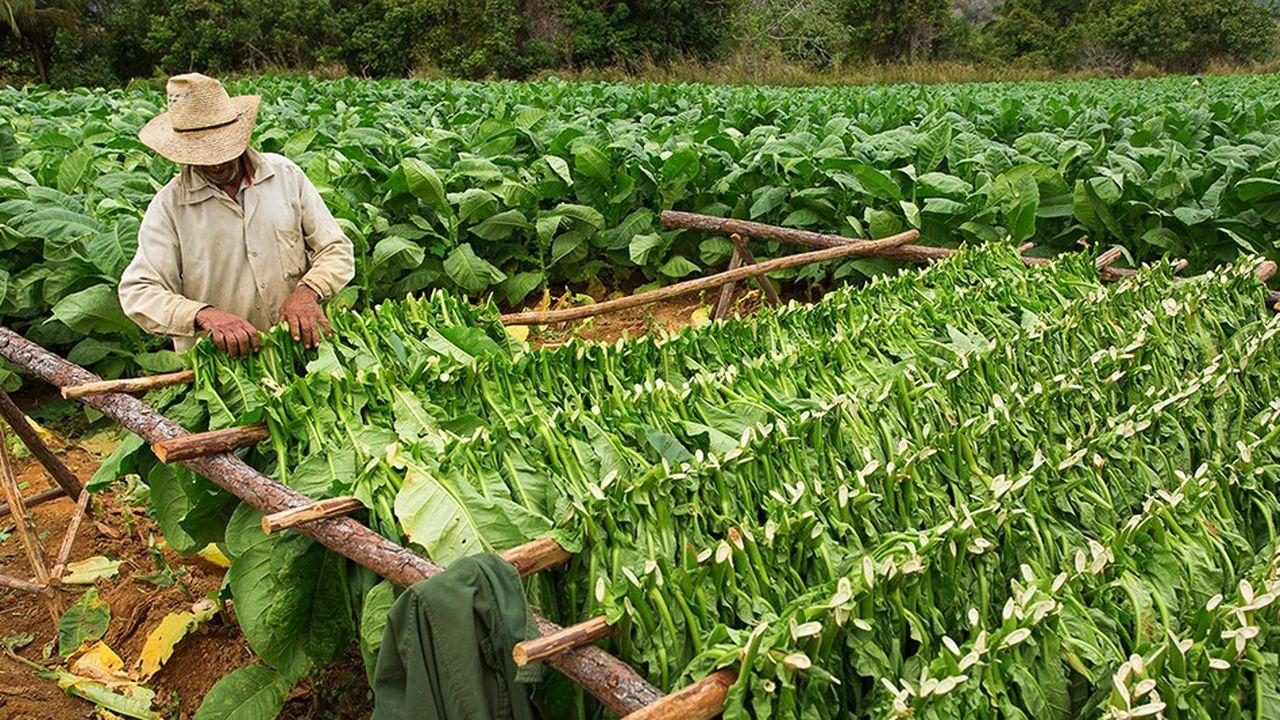 En modifiant génétiquement la photosynthèse du tabac (photo), des chercheurs sont parvenus à accroître la masse de cette plante de 40%. Une première, qui pourrait être répliquée sur d'autres plantes de plus grand intérêt agronomique, comme la pomme de terre ou le riz.