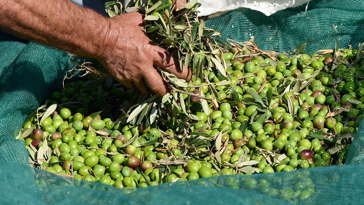 Victime du climat, d'un parasite, et de la concurrence étrangère, l'huile d'olive extra-vierge italienne sera bientôt un article de luxe.