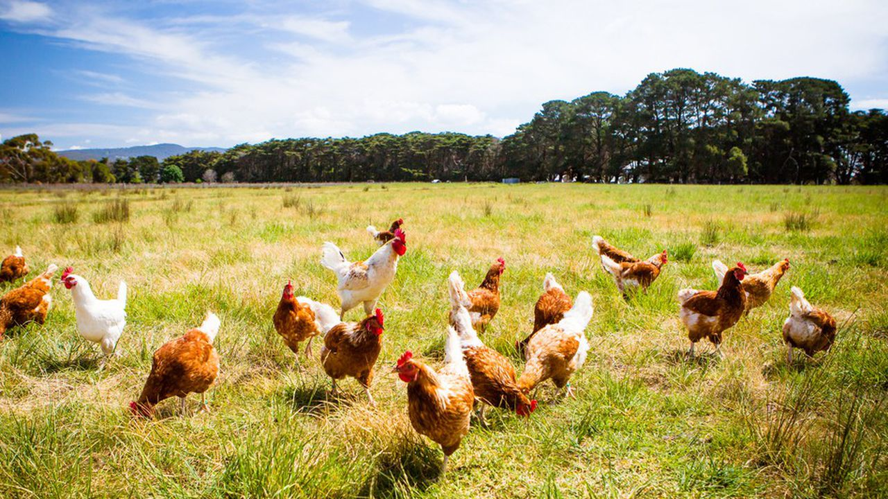 En 2016, les professionnels de la filière s'étaient engagés à changer de pratiques pour atteindre 1 poule sur 2 en élevage alternatif d'ici à 2022.