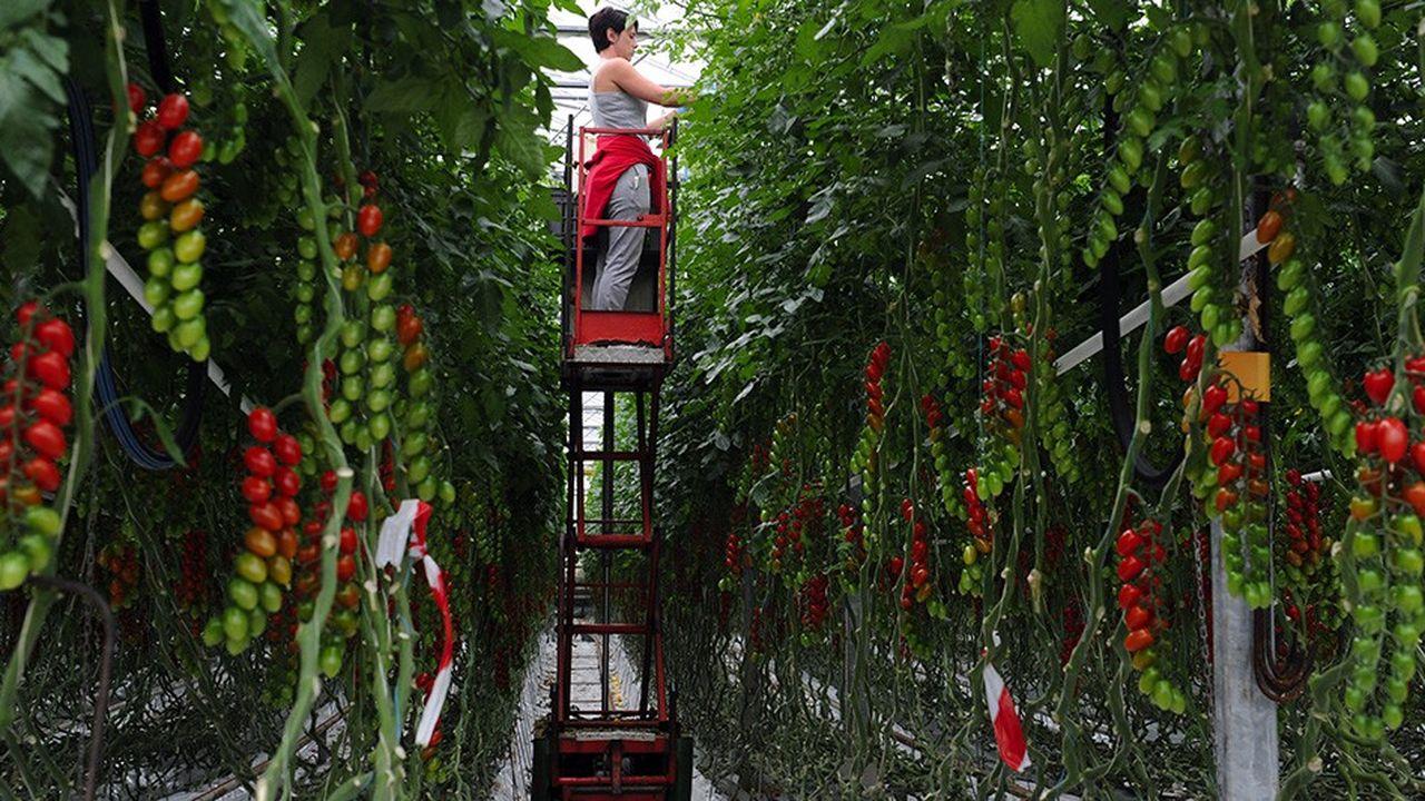 Savéol regroupe près de 130 adhérents qui approvisionnent la coopérative en tomates et fraises.