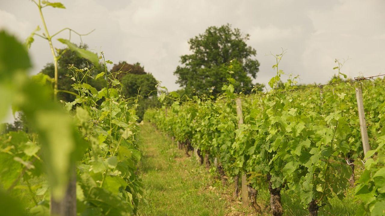 Les 340 vignerons de la coopérative Caves de Rauzancultivent 3.600 hectares dans l'Entre-deux-mers.