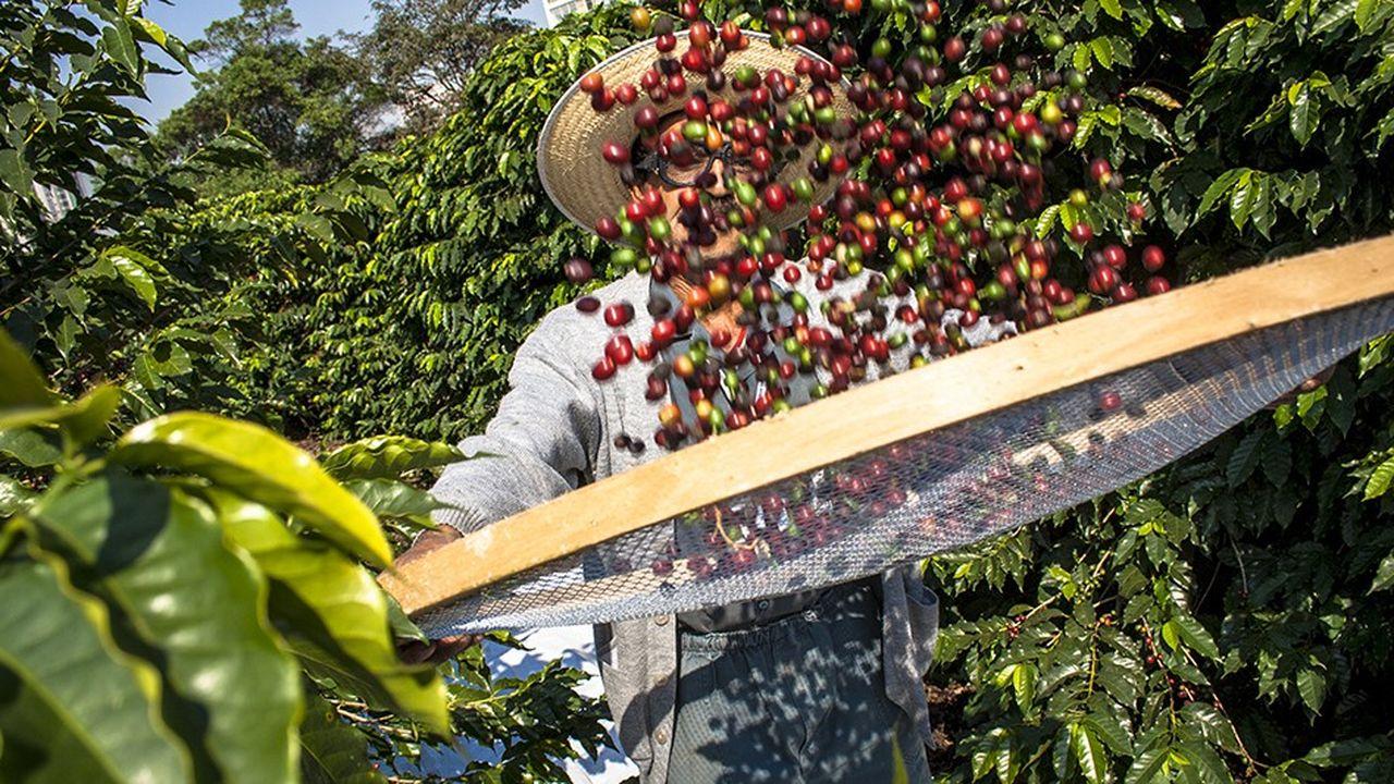 La récolte du café au Brésil, au sud de Sao Paulo