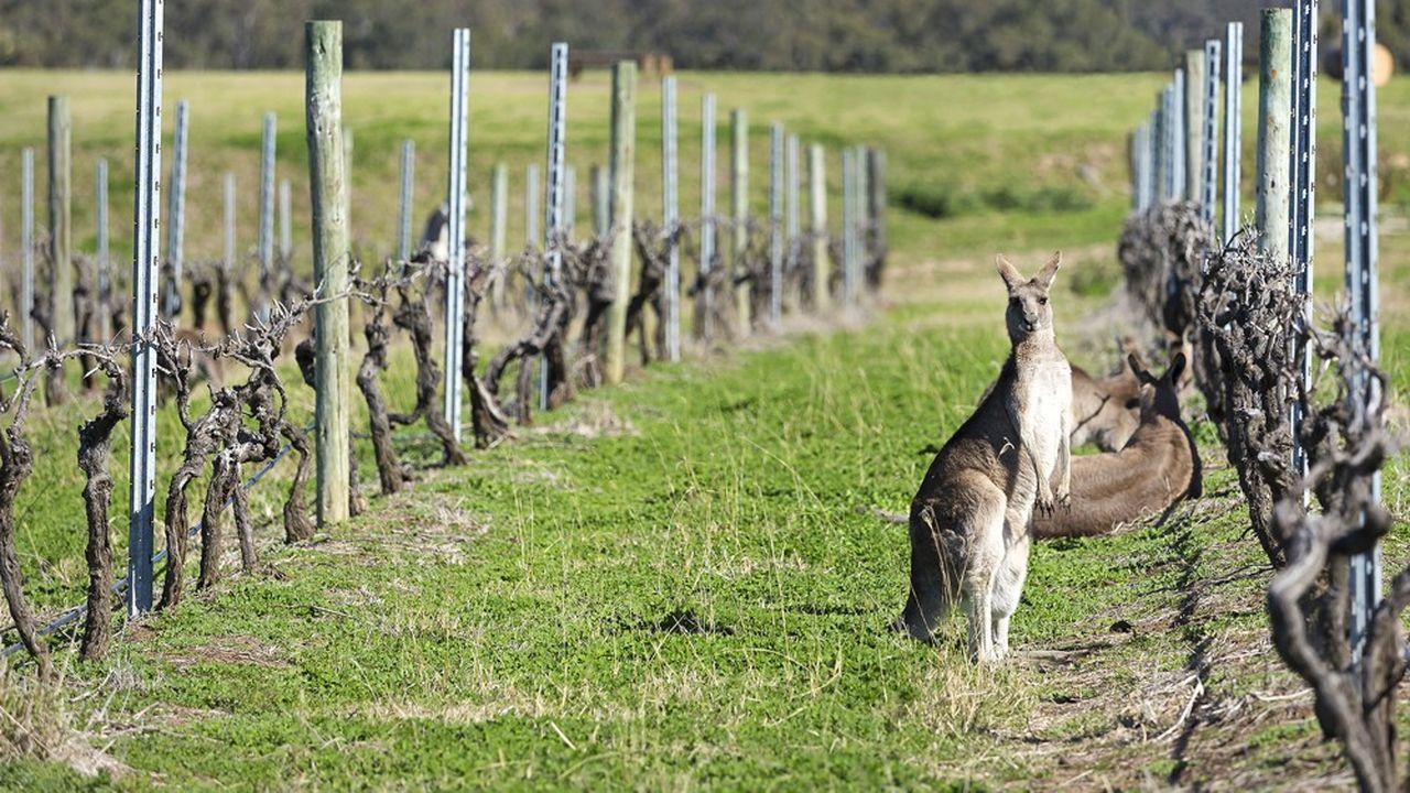 Les Australiens consomment avant tout leur propre vin (85% des ventes). Ils en boivent de plus en plus, au détriment de la bière
