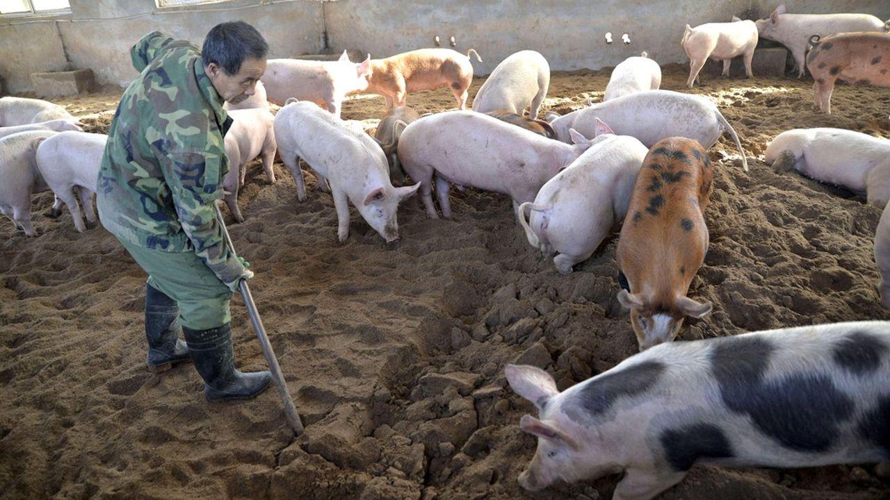 Les autorités chinoises ont dû abattre plus de 1million de porcs pour tenter d'enrayer l'épidémie de peste porcine africaine dans le pays.