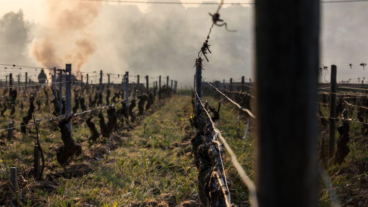 Le gel tardif de 2017 avait entraîné «une perte de 40%» du vignoble bordelais.