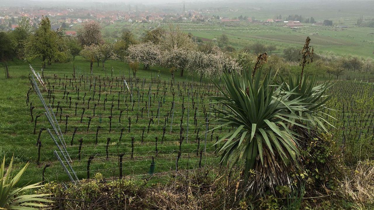 Près du village alsacien de Westhoffen, les vignes du Domaine Loew produisent du Riesling dont une bonne part est exportée au Japon et au Canada notamment.