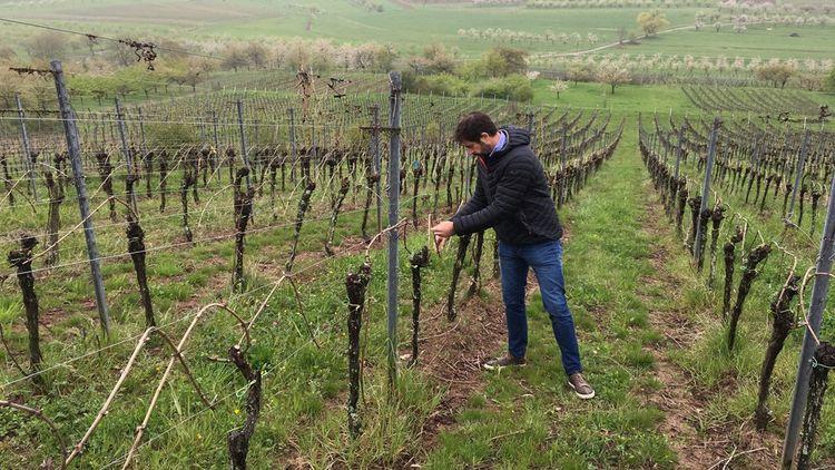 Sur son domaine, Etienne Loew vérifie l'état de ses pieds de vignes du «clos des frères».
