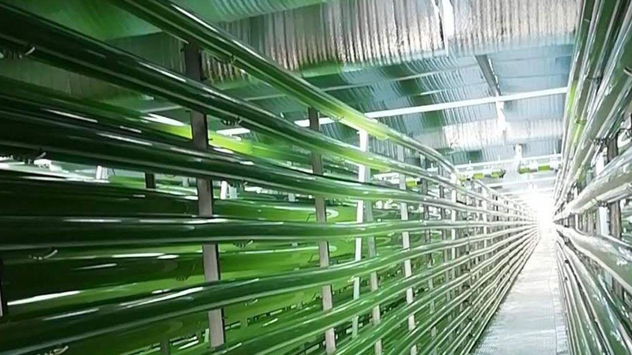 Premières récoltes de chlorelles pour LDC Algae