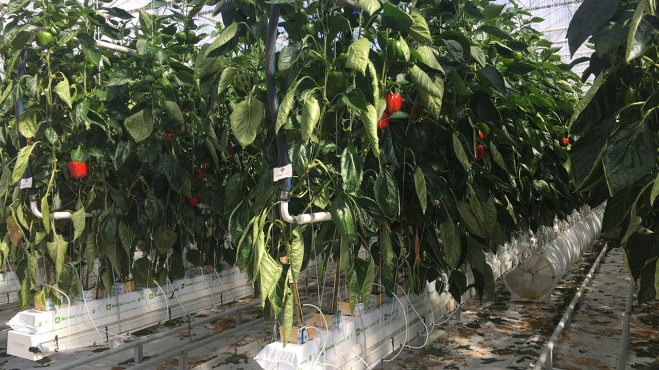 Les Serres modernes du Val de Loire ont créé des serres de production de poivrons.