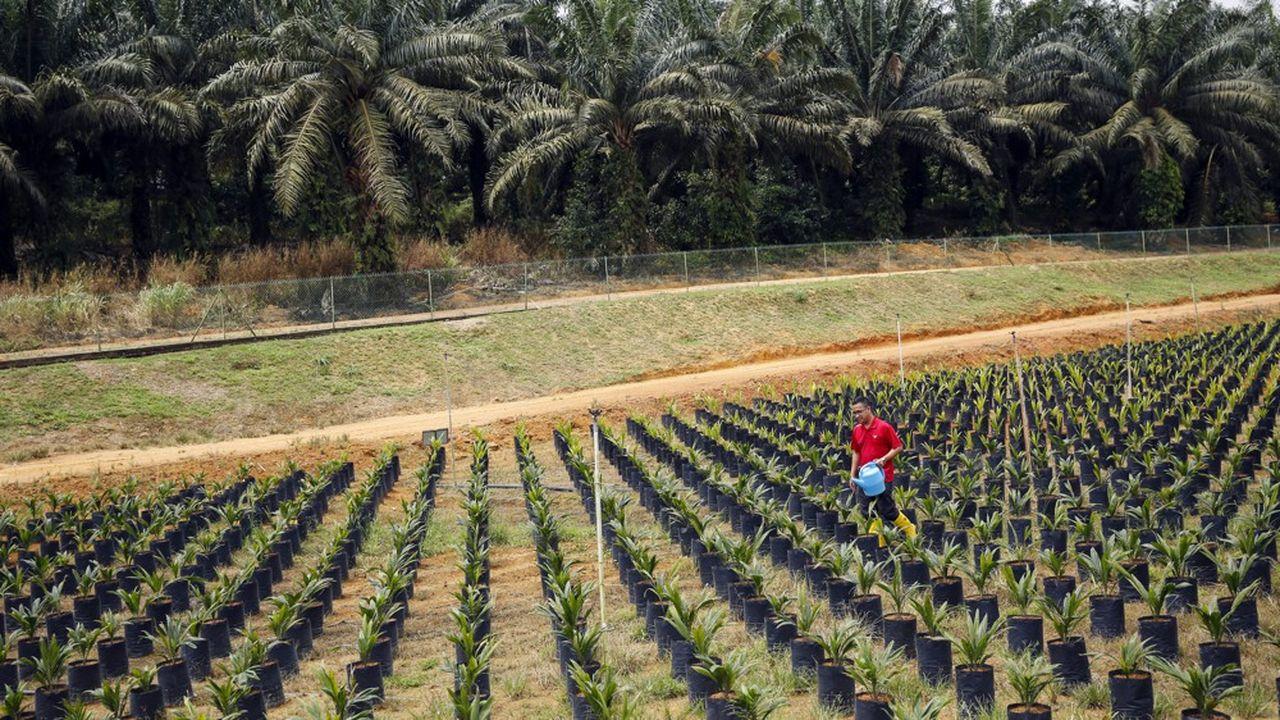 Dans une plantation du Malaysian Palm Oil Board, l'organisme gouvernemental chargé de la promotion et du développement de l'industrie de l'huile de palme en Malaisie.
