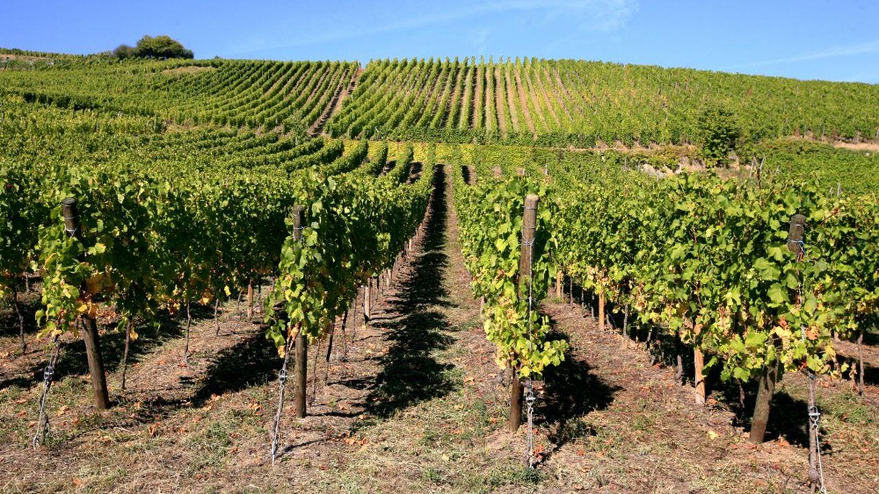 Vignobles en Alsace. D'ici à 2060-2090, la région devrait vivre en moyenne quinze journées très chaudes entre floraison et vendanges par an contre une sur la période 1980-2010.